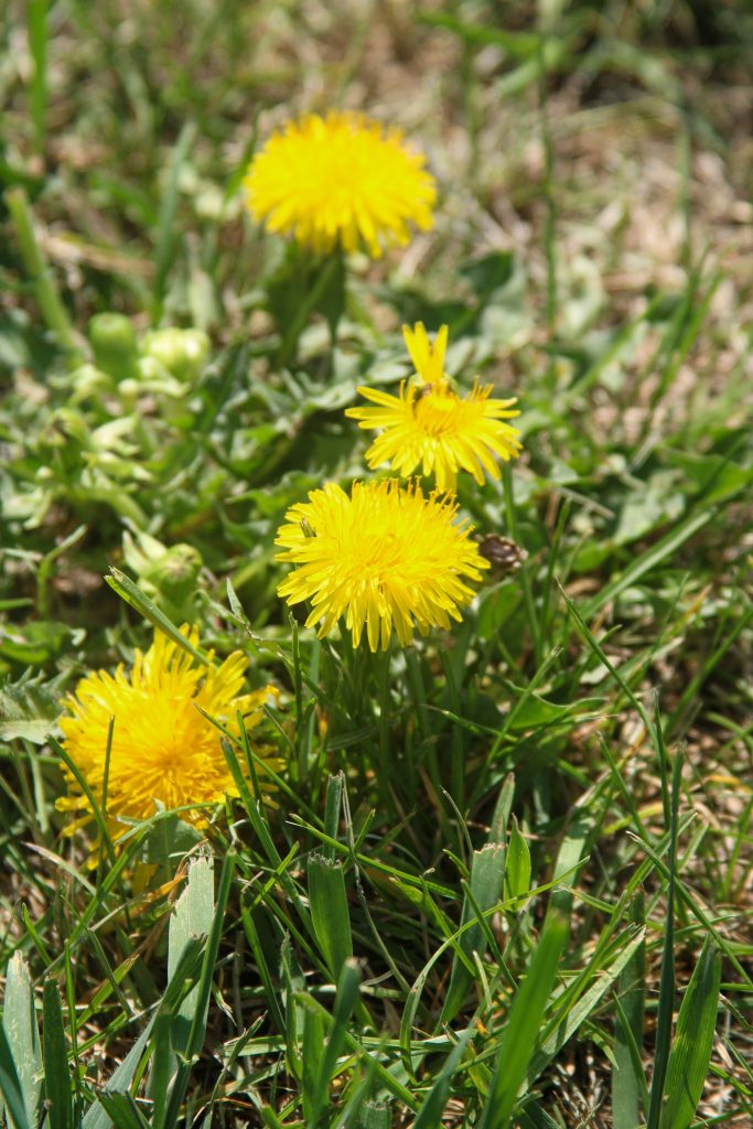 Dandelions on a sunny day.